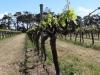 Voyager Wines Vineyard